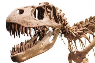 Tyrannosaurus Rex skeleton on white isolated background
