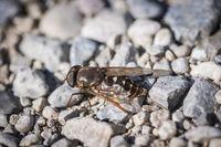 Syrphidae Schwebfliege