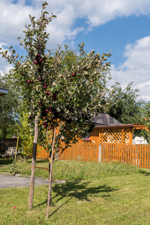 junger Apfelbaum mit dunkelroten Äpfeln und einem Holzpflock als Halt