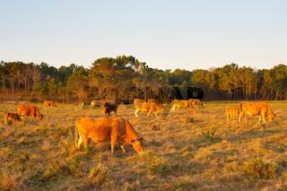 Herd cow grazing field. Portugal