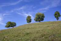 Baumreihe mit vier Bäumen im Sommer, Österreich