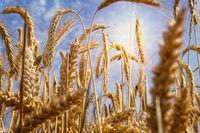 Weizenfeld bei starker Sonne