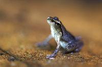 Endemische Froschart Mantidactylus boulengeri, Andasibe Nationalpark, Madagaskar