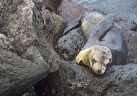 Galapagos Seelöwe (Zalophus wollebaeki) schlafend auf Lavafelsen