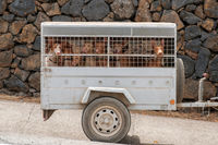 hunting dogs in transportaation cage, hounds in carriage