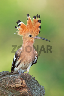 Hoopoe, upupa epops, sitting on a stump with open crest.