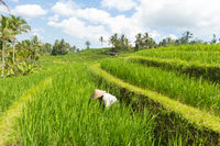 Female farmer wearing traditional asian paddy hat working in beautiful Jatiluwih rice terrace plantations on Bali, Indonesia, south east Asia