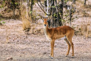 Puku, South Luangwa Nationalpark, Sambia, (Kobus vardonii)    Puku, South Luangwa National Park, Zambia, (Kobus vardonii)