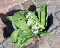 Baerlauch, Allium, ursinum