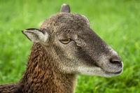 Potrtrait of a Sheep