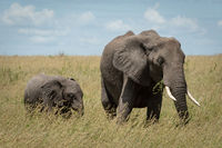 African elephant and calf feed in grass