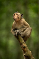 Baby long-tailed macaque looking up from branch