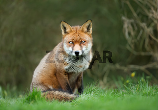 Close up of a Red fox sitting in the grass