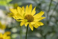 Sonnenhut (Rudbeckia)