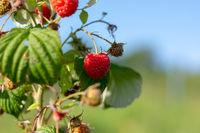 Red ripe raspberries on a bush.