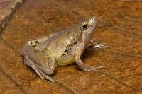 Frog, Microhyla sp, Microhylidae, Trishna, Tripura , India