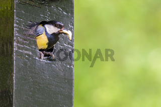 Parent great tit sits in hole of nest box