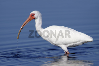 White Ibis Eudocimus albus wading in water