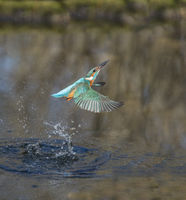 Eisvogel, Alcedo atthis, European Common Kingfisher