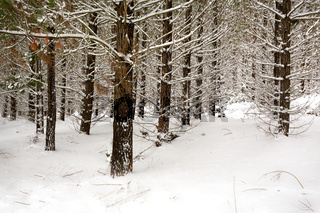 Snow covered plantation pine forest