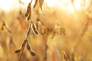 Soy pods on stem in the fields closeup view against sunlight