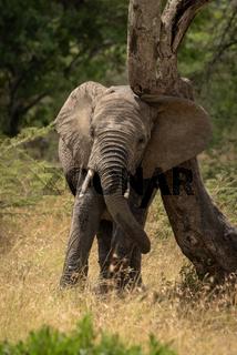 African elephant rubs its head against tree