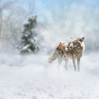 coyote walking in the winter forest