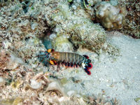 Mantis-Shrimp (Odontodactylus scyllarus)