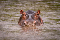 Hippopotamus in muddy pool staring at camera