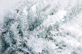 Snow-covered blue fir tree. Winter background with snow.