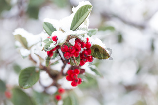 Frozen berries covered in fresh winter snow