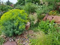 Steingarten, Steppenwolfsmilch, Euphorbia, seguieriana