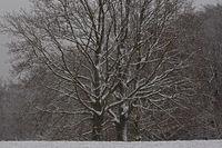 Eichen im Winter