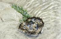 Pazifische Auster (Magallana gigas), Wattenmeer, Schleswig-Holstein, Deutschland