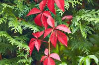 Red leaves ofa climbing plant