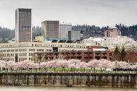 Cherry Blossoms Bloom in Park on the Willamette River Waterfront portland Oregon