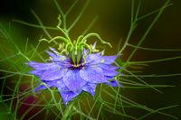 Blue nigella flower blossom