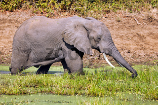Elefant im Wasser im South Luangwa Nationalpark, Sambia, (Loxodonta africana) |  Elephant in the water at South Luangwa National Park, Zambia, (Loxodonta africana)