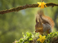 red squirrel is standing with closed eyes and narcissus