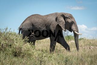 African elephant walking behind bush in savannah