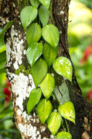 Green Vine On Tree As Background