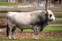 big bull at a farm