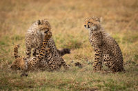 Cheetah cub sitting as others play fight
