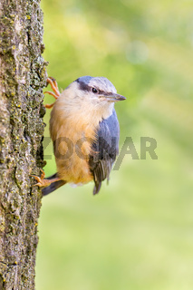 Young nuthatch hanging at oak tree trunk