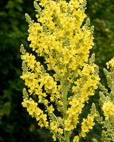 Koenigskerze, Grossbluetige, Verbascum, densiflorum