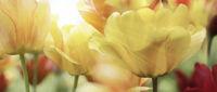 tulpen gelb rot licht strahlen
