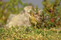 Paddyfield pipit or Oriental pipit, Anthus rufulus, standing on grass ground, Pune, Maharashtra, India