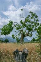 Sehr alter Feigenbaum (Ficus)