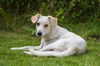Liegender junger Hund