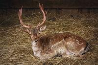 Deer on the Hay